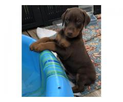 AKC Doberman Pinschers