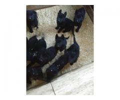 Solid black German shepherd puppies