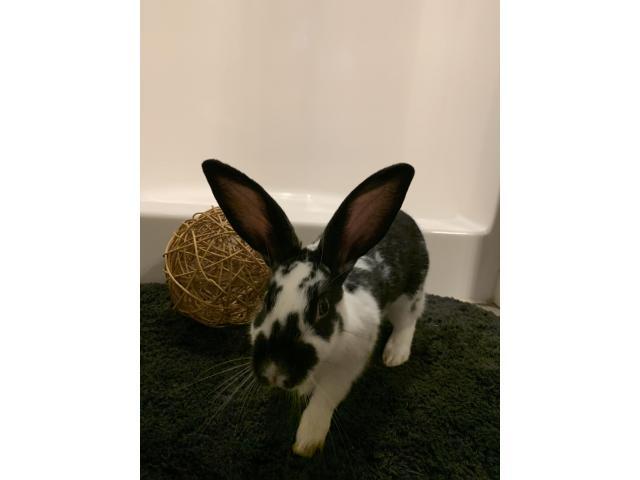 New Zealand bunny