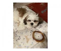 Lhasa Shih Tzu Mix Puppy - Male - 10 weeks old - $2000