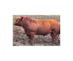 2 yr old red angus bull for sale